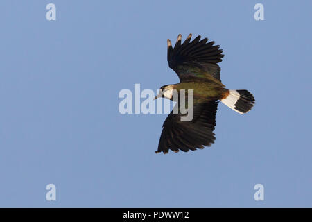 Northern Lapwing flying against a blue sky. - Stock Photo