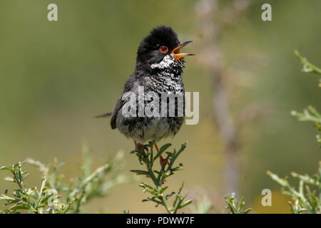 Cyprus Warbler in the greenery. - Stock Photo