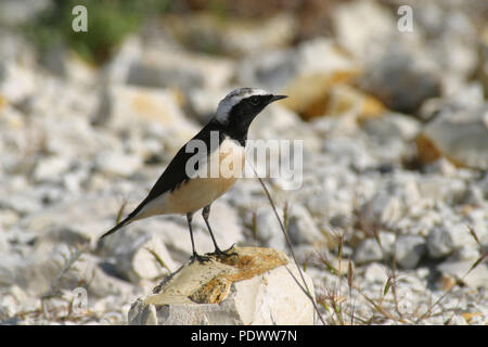 Cyprus Wheatear looking arround from a rocky stone. - Stock Photo