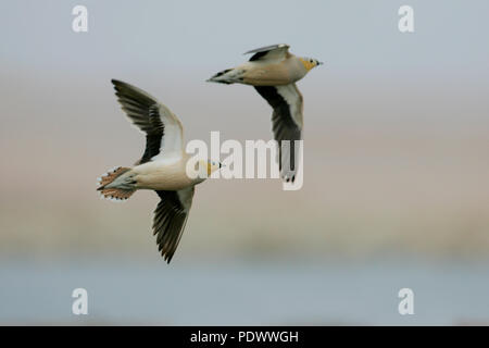 Two (2) Crowned Sandgrouses in flight, underwing view. - Stock Photo