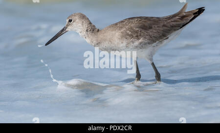 Willet (Tringa semipalmata) searching for food in the foaming surf on the Florida Gulf Coast. - Stock Photo