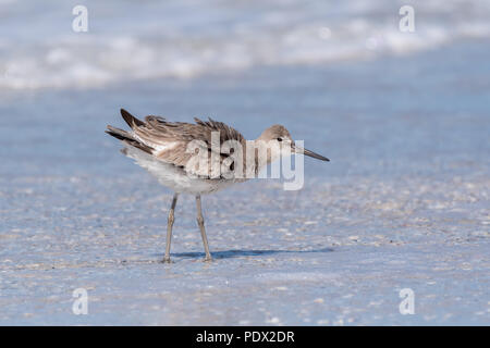 Willet (Tringa semipalmata) searching for food, feathers fluffed from the wind. Florida Gulf Coast. - Stock Photo