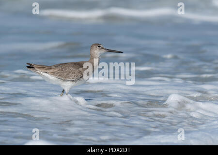 A Willet (Tringa semipalmata) keeps an eye on the sky while looking for food in the foamy surf on the Gulf shores of Central Florida. - Stock Photo