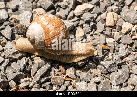 Big edible snail on stony ground in the forest - Stock Photo