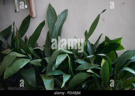 Aspidistra elatior plant - Stock Photo