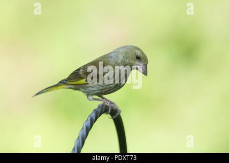 A stunning juvenile Greenfinch (Carduelis chloris) perching on a metal post. - Stock Photo