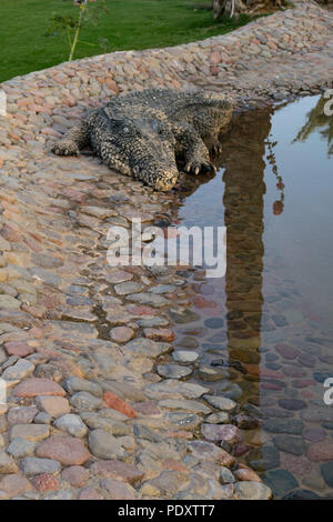 Big crocodile staying on the stones in the zoo. It is looking for the food. Seen in close up view. Dangerous animal wildlife concept. - Stock Photo