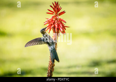 A Giant Humming Bird or Picaflor Gigante aka Patagona Gigas flying and eating the flower of an Aloe Vera plant in the Cordillera de la Coasta, Chile. - Stock Photo