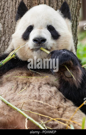 Portrait of Giant Panda eating bamboo. - Stock Photo