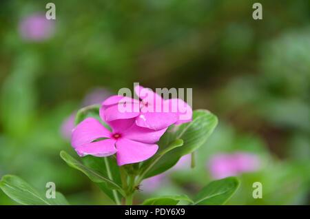 Beautiful pink vinca flowers (madagascar periwinkle) - Stock Photo