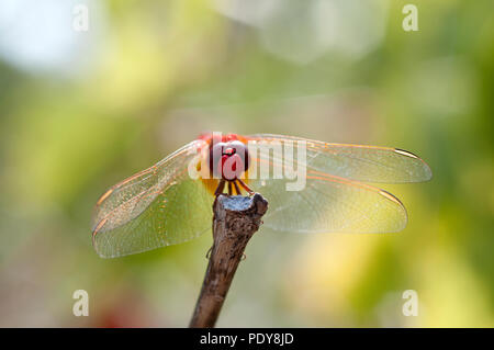Scarlet Dragonfly - Broad Scarlet - Garrigue - Southern France (Crocothemis erythraea( Libellule écarlate - Stock Photo
