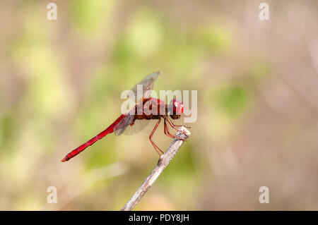 Scarlet Dragonfly - Broad Scarlet - Garrigue - Southern France (Crocothemis erythraea) Libellule écarlate - Stock Photo