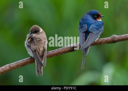 Sand Martin (Riparia riparia) and Barn Swallow (Hirundo rustica) together on a small branch - Stock Photo