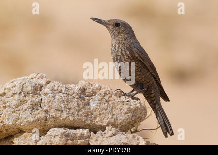 Female Blue Rock Thrush; Monticola solitarius - Stock Photo