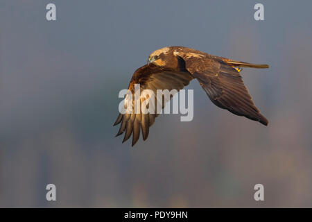Adult female Western Marsh Harrier (Circus aeruginosus) flying - Stock Photo