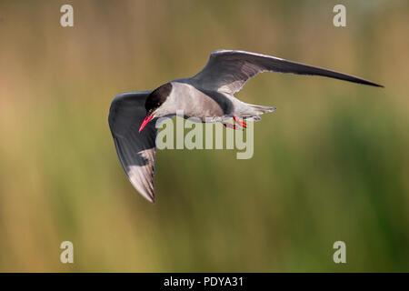 Whiskered Tern (Chlidonias hybrida) - Stock Photo