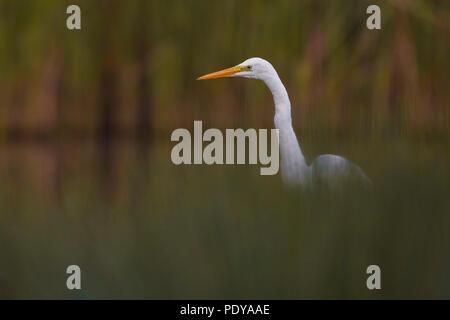 Great White Egret; Casmerodius albus; Egretta alba - Stock Photo