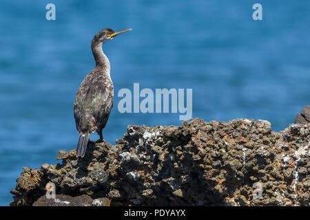 European Shag; Phalacrocorax aristotelis desmarestii - Stock Photo