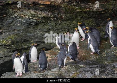 Macaroni penguin colony in the South Shetland Islands - Stock Photo