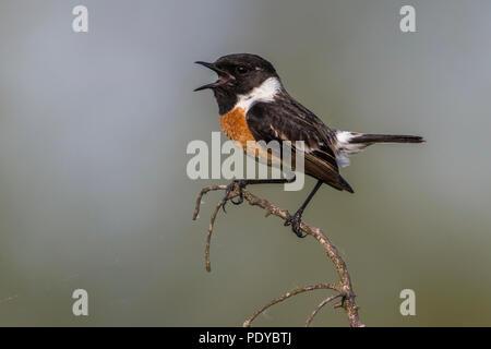 Singing Male European Stonechat; Saxicola rubicola - Stock Photo