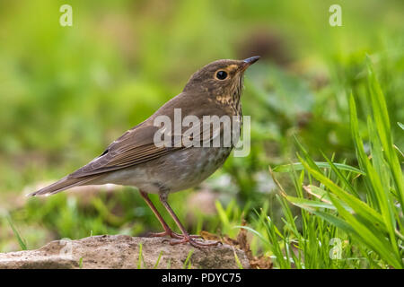 Swainson's Thrush; Catharus ustulatus - Stock Photo