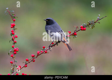 Male Black Redstart (Phoenicurus ochruros gibraltariensis) perched on branch with red berries - Stock Photo