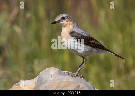 Tapuit; Northern Wheatear; Oenanthe oenanthe - Stock Photo