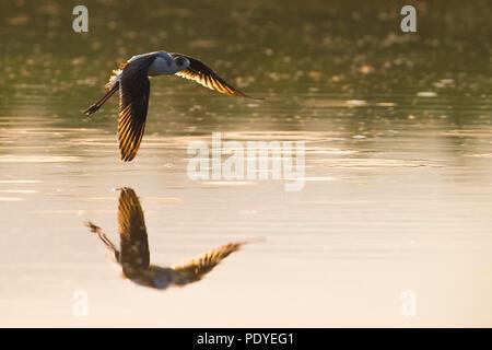 Juvenile Black-winged Stilt (Himantopus himantopus) flying low across the water - Stock Photo