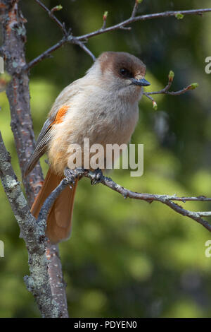 Taigagaai op een uitlopend takje.Siberian Jay sitting on a twig. - Stock Photo