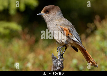 Taigagaai op een dorre takje.Siberian Jay sitting on a twig. - Stock Photo