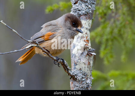 Taigagaai op een dor takje met korstmos.Siberian Jay sitting on a twig with lichen. - Stock Photo