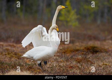 Twee wilde zwanen naast elkaar staand.Two Whooper swans staying side by side. - Stock Photo