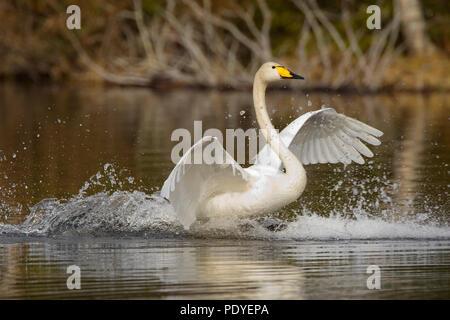 Wilde zwaan met landing op het water.Whooper Swan making a landing on the water. - Stock Photo