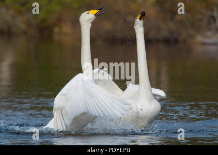 Koppel wilde zwanen met paringsritueel.A pair of Whooper Swans with courtship display. - Stock Photo