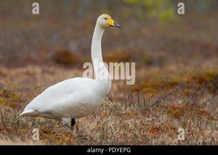 Een eenzame wilde gans.A lonely Whooper Swan. - Stock Photo