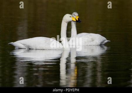 Twee wilde zwanen die de koppen bij elkaar steken.Two Whooper Swans putting their heads together. - Stock Photo
