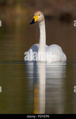 Wilde zwaan zwemmend in het water.Whooper Swan swimming in the water. - Stock Photo