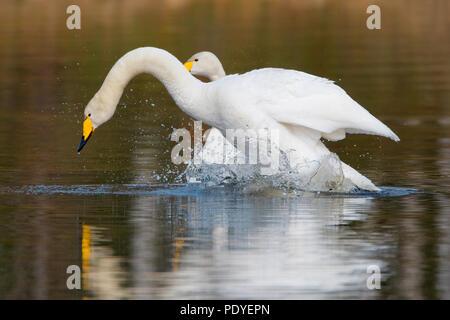 Twee wilde zwanen met klapperende vleugels.Two Whooper Swans with flapping wings. - Stock Photo