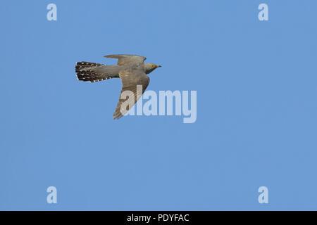 flying Cuckoo against blue sky. - Stock Photo