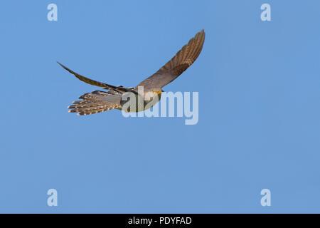 Flying Cuckoo against blue sky - Stock Photo