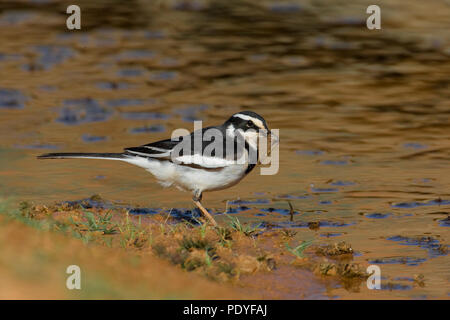 African Pied Wagtail with insect; Motacilla aguimp; Afrikaanse Witte Kwikstaart met insect. - Stock Photo