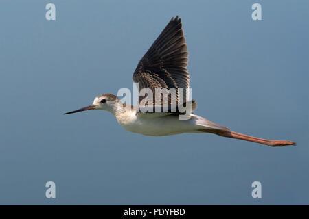 Black-winged Stilt juvenile flying; Himantopus himantopus; Vliegende juveniele Steltkluut. - Stock Photo