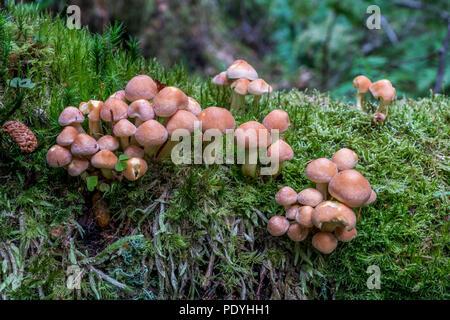 Conifer Tuft or Hypholoma Capnoides. - Stock Photo