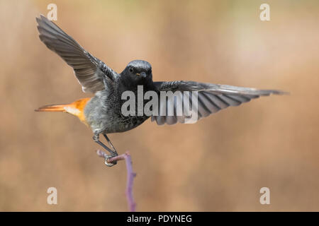 Black Redstart (Phoenicurus ochruros) - Stock Photo