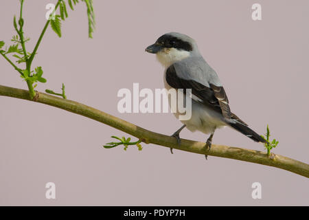 Lesser Grey Shrike; Lanius minor; Kleine Klapekster - Stock Photo