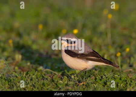 Northern Wheatear; Oenanthe oenanthe; Tapuit - Stock Photo