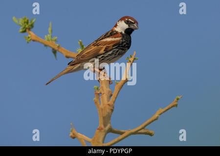Spanish Sparrow; Passer hispaniolensis; Spaanse Mus - Stock Photo