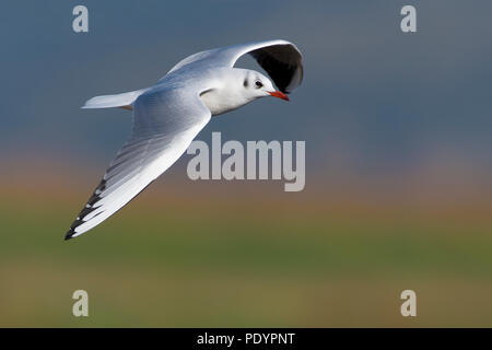 Volwassen kokmeeuw in winterkleed vliegend. Adult Black-headed gull in winter plumage flying. - Stock Photo