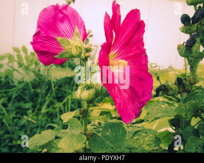 Petunias in a Flower Bed - Stock Photo