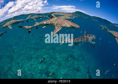 A split image of blacktip reef shark, Carcharhinus melanopterus, and grey reef sharks, Carcharhinus amblyrhynchos, above a reef off the island of Yap  - Stock Photo